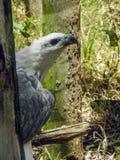 Mer Eagle gonflée par blanc Images stock