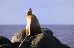 mer fière de lion photographie stock