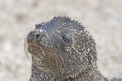 Mer Lion Baby sur la plage Photographie stock
