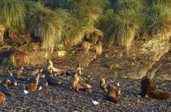 Mer Lion Colony sur Falkland Islands Image libre de droits