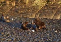 Mer Lion Colony sur Falkland Islands Image stock