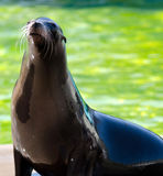 Mer Lion Otariinae Photo stock