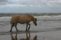 Mer-marche de cheval Image libre de droits