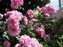 Mer nära övre sikt av de John Davis rosorna royaltyfri bild