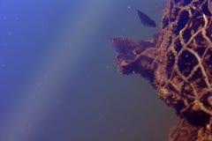 Mer nette Ray Golden Underwater Background de léopard de poissons vieille images libres de droits