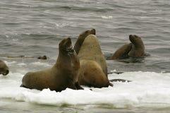 mer nordique de lion de jubatus d'eumetopias Photo stock