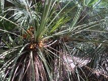 Mer palmier med gula frukter, i solen Arkivbild