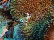 Mer ren krabba royaltyfria bilder