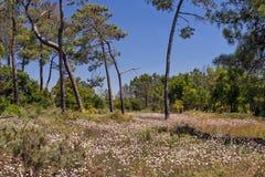 Mer Rose - pungens d'Armeria, Ria Formosa Natural Park, Algarve, Portugal Images libres de droits