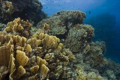 mer rouge de scène sous-marine Photographie stock