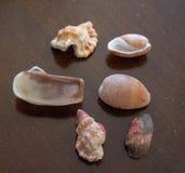 Mer Shell Images photo libre de droits
