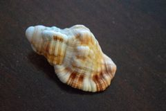 Mer Shell Images image stock