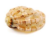 Mer Shell sur le blanc photos stock