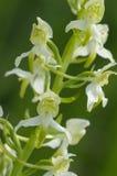Mer stor Fjäril-orchid Royaltyfri Bild