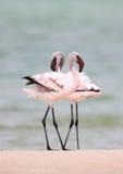 mer stor flamingo Arkivbild