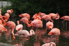mer stor flamingo Royaltyfri Fotografi