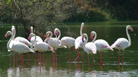 mer stor flamingo royaltyfria foton