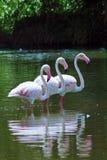 mer stor flamingo Arkivfoto