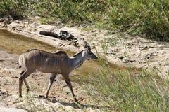 mer stor gå för kudu Arkivbilder