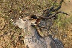 mer stor kudu Arkivbild