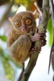 mer tarsier Royaltyfri Foto
