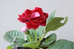 Merah Bunga för afrikansk violet Arkivbild