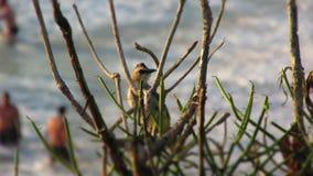 Merbah Jambul ptak Obrazy Royalty Free