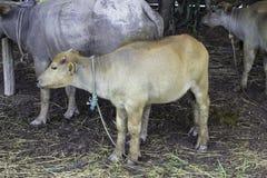 Mercado de reventa el búfalo y las vacas Tailandia Foto de archivo