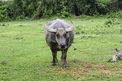 Mercado de reventa el búfalo y las vacas Tailandia Fotos de archivo libres de regalías