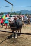 Mercado do búfalo em Rantepao Fotografia de Stock