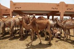Mercado do camelo imagens de stock royalty free