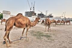 Mercado do camelo em HDR Imagem de Stock Royalty Free