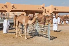 Mercado tradicional del camello en Al Ain en los UAE foto de archivo libre de regalías