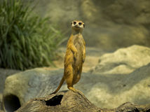 Mercat In Characterstic Pose 4 Royalty Free Stock Images