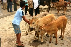 Mercato del bestiame Fotografia Stock
