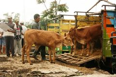 Mercato del bestiame Immagine Stock