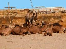 Mercato del cammello Fotografia Stock