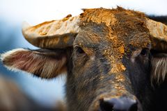 Mercato della Buffalo nel Vietnam Immagine Stock