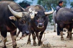 Mercato della Buffalo nel Vietnam Immagini Stock Libere da Diritti