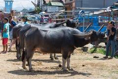 Mercato della Buffalo in Rantepao Fotografia Stock