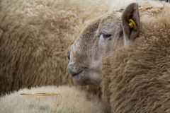 Mercato delle pecore Immagine Stock Libera da Diritti