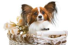 Merce nel carrello del cane di Papillon con i fiori su bianco isolato Fotografia Stock