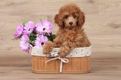 Merce nel carrello nana del cucciolo del barboncino fotografia stock libera da diritti