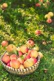 Merce nel carrello organica delle mele, meleto fotografia stock libera da diritti
