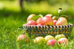 Merce nel carrello organica delle mele, meleto immagine stock libera da diritti