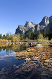 Merced River, Yosemite. Fall leaves log jammed on the Merced River, Yosemite National Park, Three Brothers in background, perfect blue sky day Stock Images