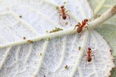 Mercerized καφετιά δασικά μυρμήγκια και αφίδιο Στοκ Εικόνες