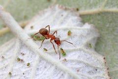 Mercerized καφετιά δασικά μυρμήγκια και αφίδιο Στοκ φωτογραφίες με δικαίωμα ελεύθερης χρήσης