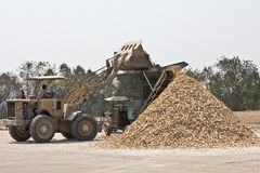 Merchandise and starch industrials. Manioc root is drying under sunlight. Cassava is planted almost everywhere in Thailand and its root is sources of food and stock image