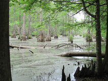 Merchant Mill State Park Swamp. In North Carolina Royalty Free Stock Photo